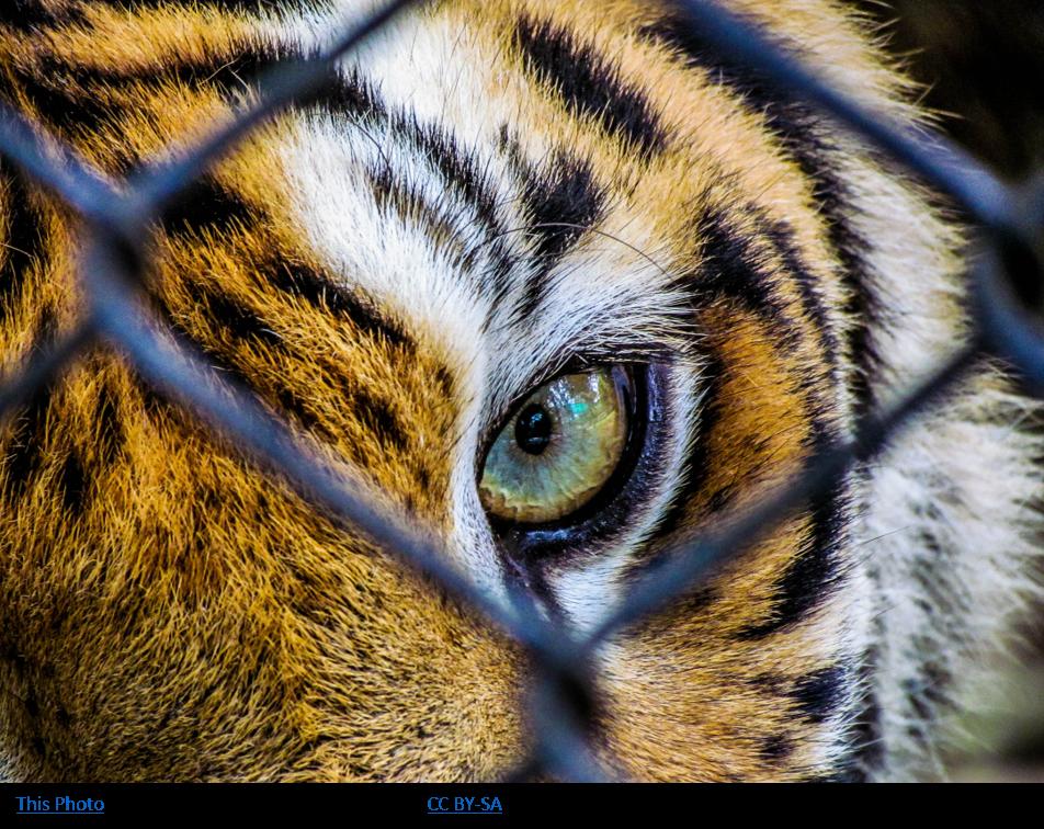 caged-tiger
